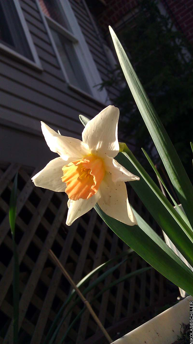 Photograph of daffodils in my backyard
