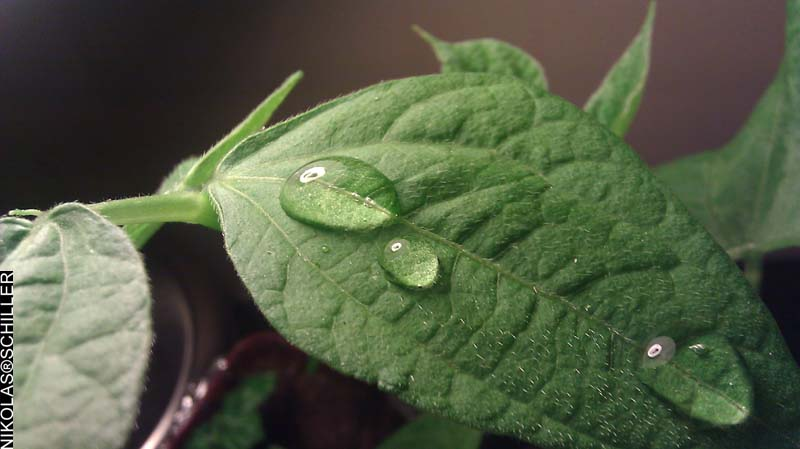 Photograph of water droplets on my green bean plant