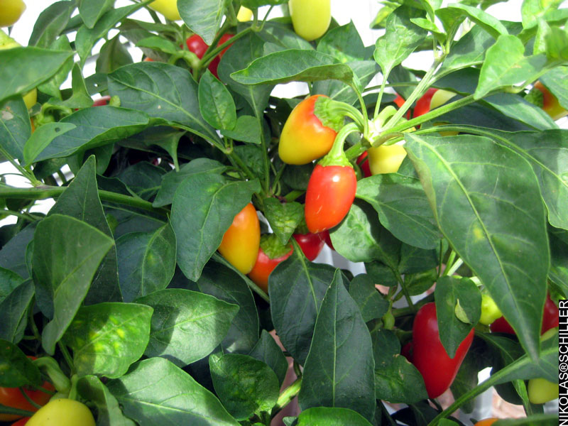 Photographs of my Jaloro plant with multi-colored peppers