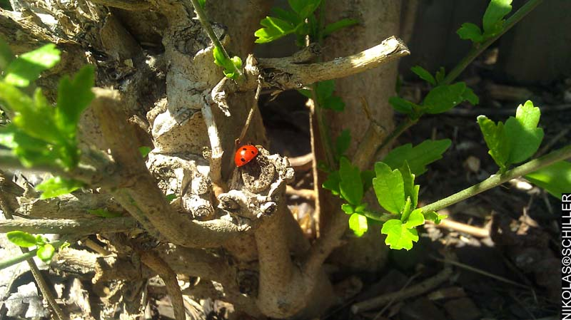 Photograph of a Lady Bug in the garden